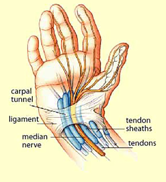 Diagram of hand, carpal tunnel, tendons
