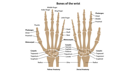 Bones of the wrist labeled. Palm view and back view